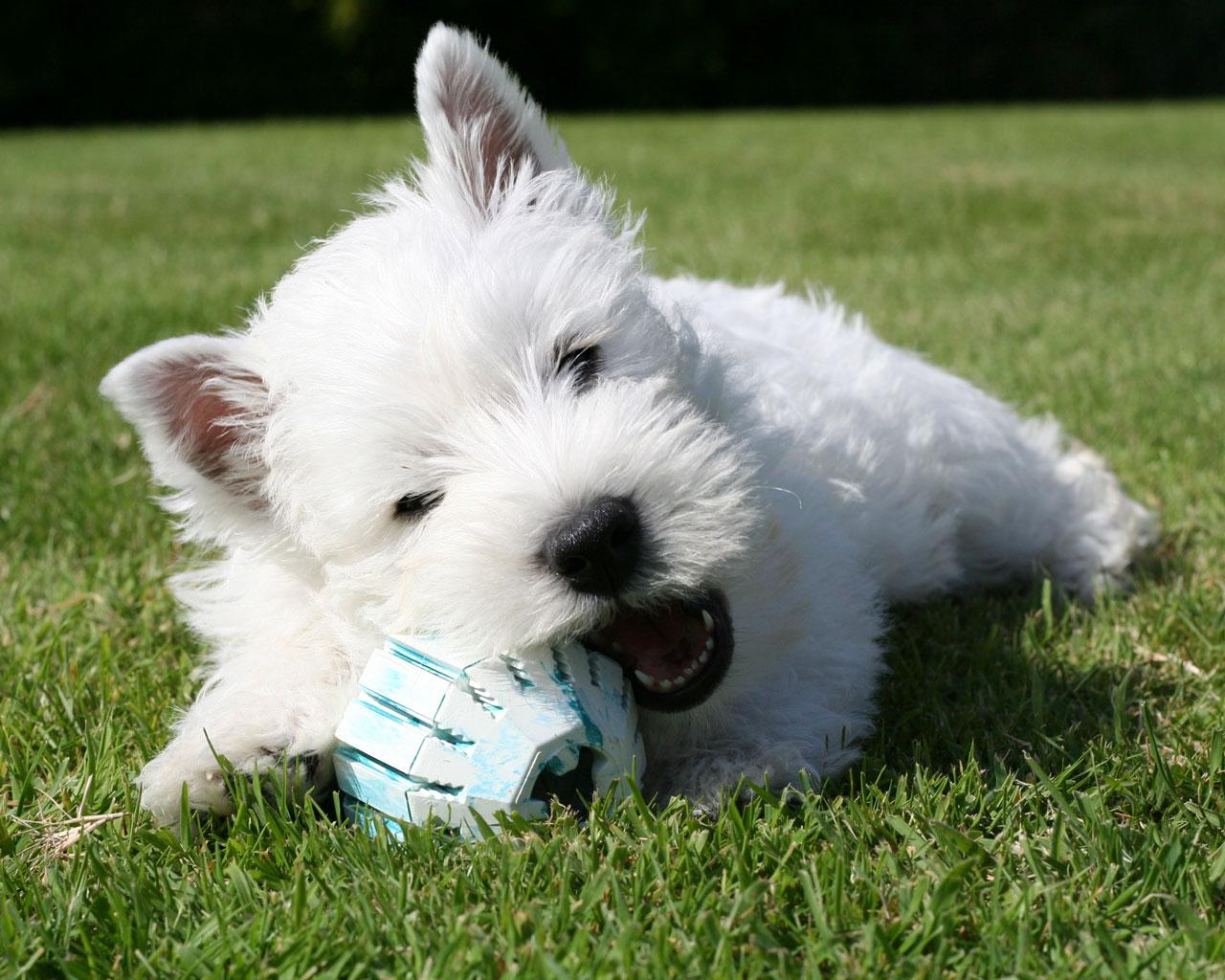 West Highland White Terrier with ball wallpaper