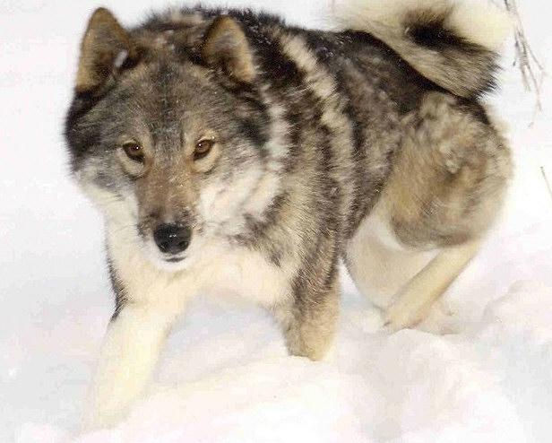 West Siberian Laika dog on the snow wallpaper