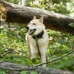 West Siberian Laika dog under the tree
