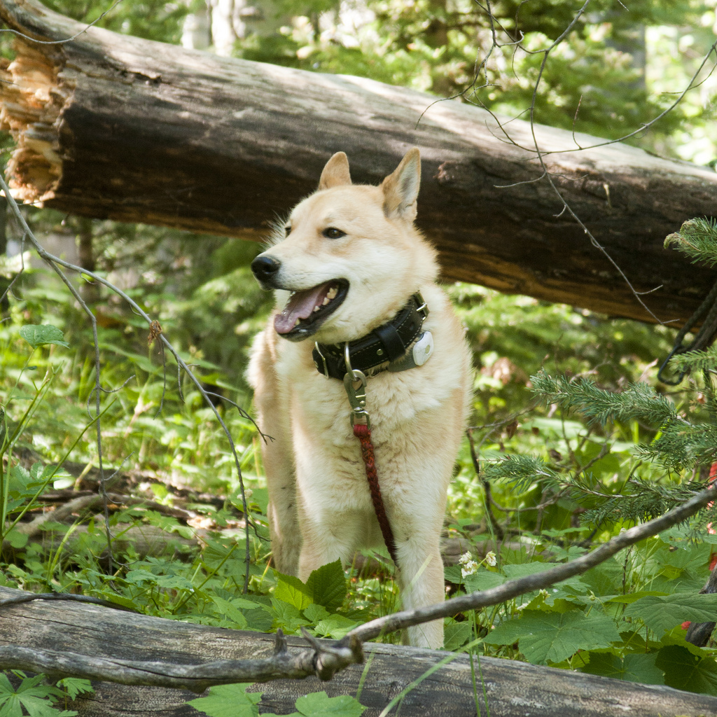 West Siberian Laika dog under the tree photo and wallpaper ...