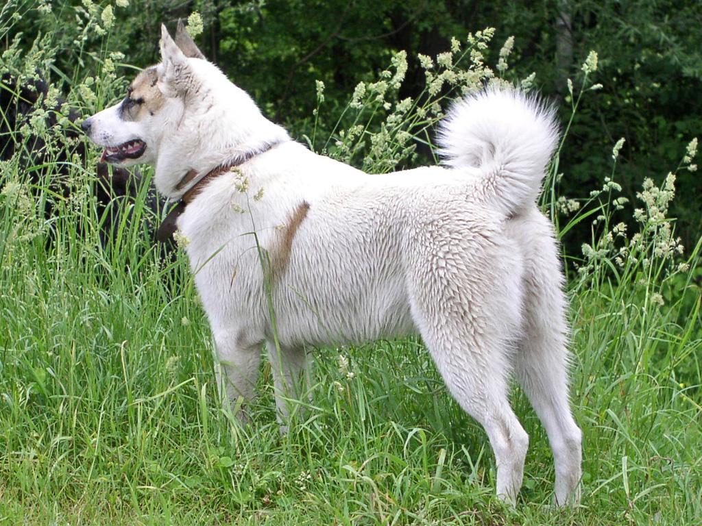 West Siberian Laika dog wallpaper