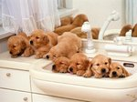 Westphalian Dachsbracke puppies