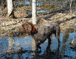 Wet Wirehaired Pointing Griffon