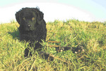 Wetterhoun dog in the field