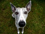 Whippet dog looking at you