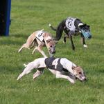 Whippet dogs competing