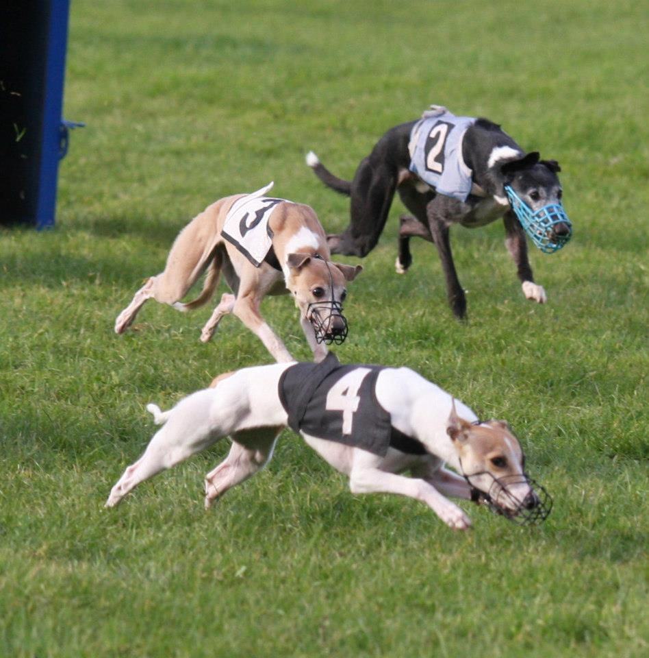 Whippet dogs competing photo and wallpaper. Beautiful Whippet dogs ...