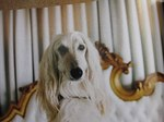 White Afghan Hound look at you