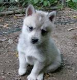 White Alaskan Klee Kai puppy