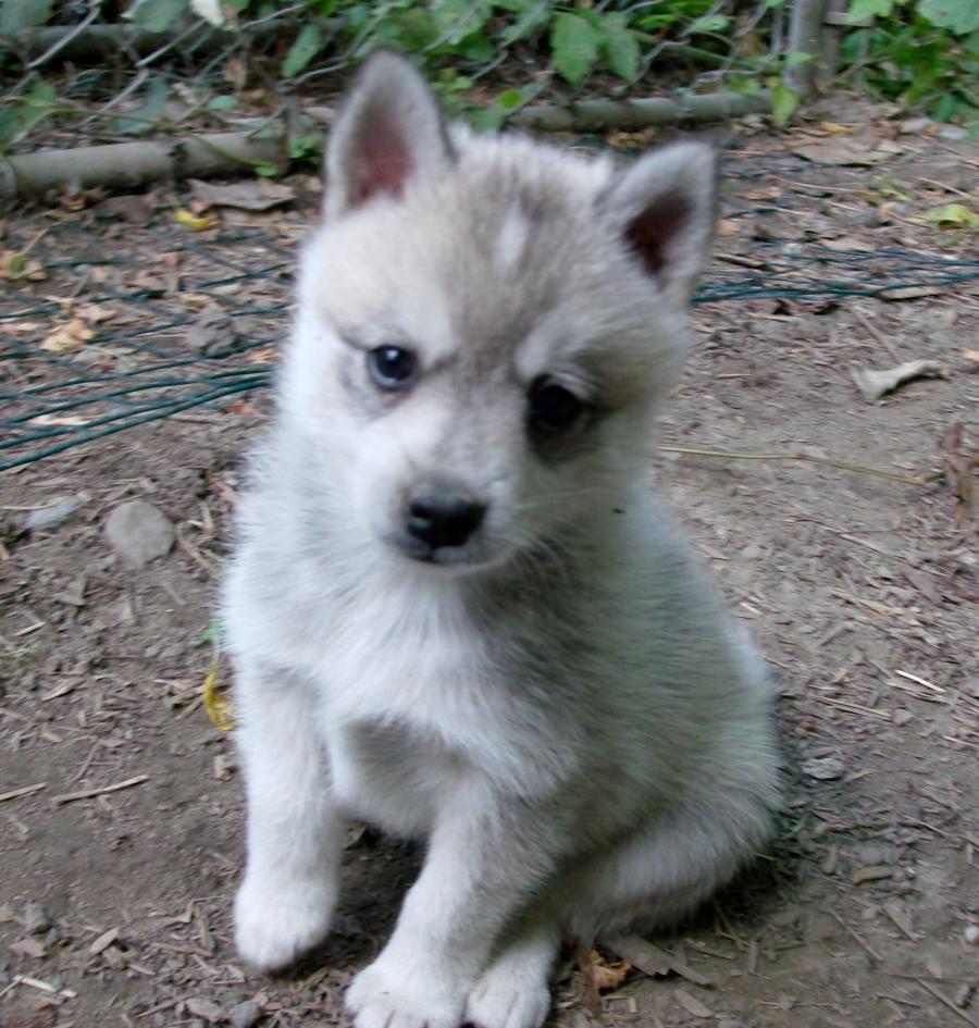 White Alaskan Klee Kai puppy wallpaper