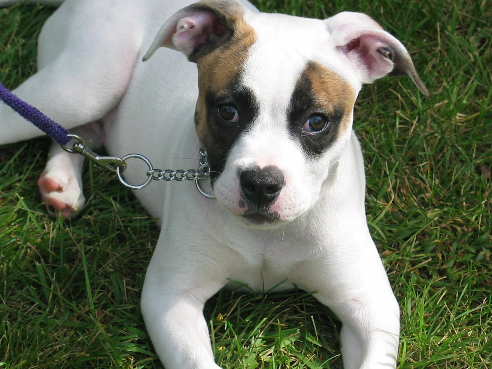 White American Bulldog puppy wallpaper