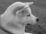 White and black Akita Inu