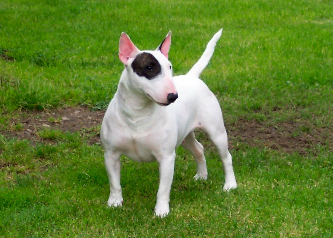 White and black Bull Terrier (Miniature) wallpaper