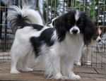 White and black Phalène dog