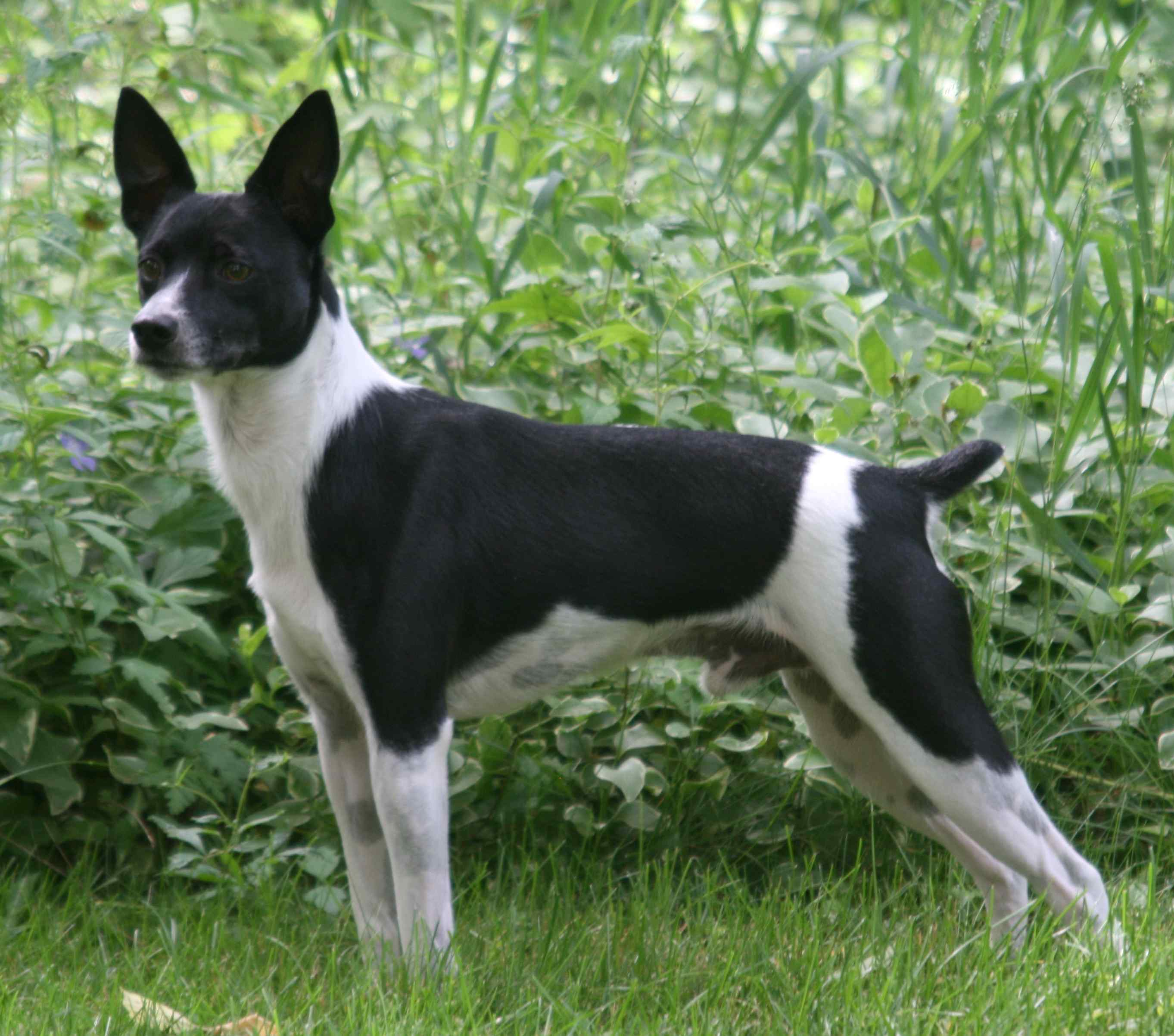 White and Black Rat Terrier  wallpaper