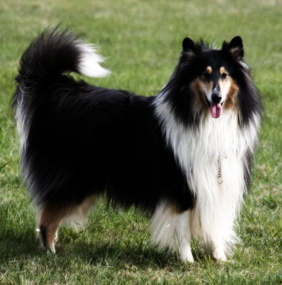 White and Black Scotch Collie dog wallpaper