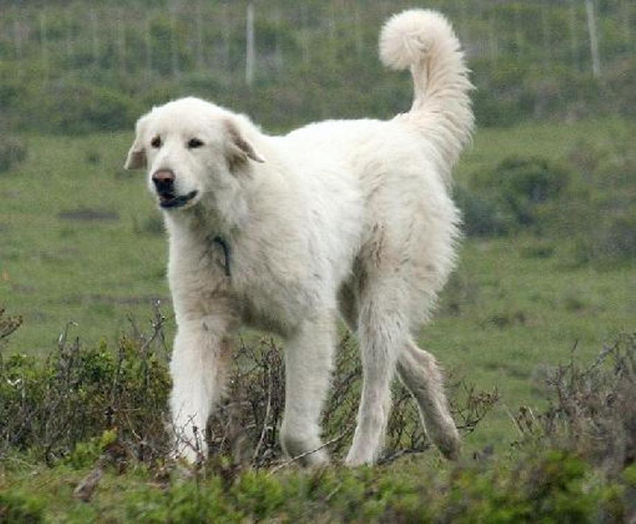 White Bakharwal dog wallpaper