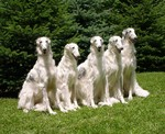 White Borzoi dogs