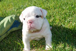 White English Bulldog on the grass