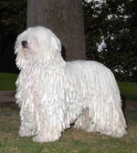 White Komondor dog near the tree