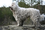 White Komondor dog