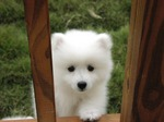 White lovely Canadian Eskimo puppy