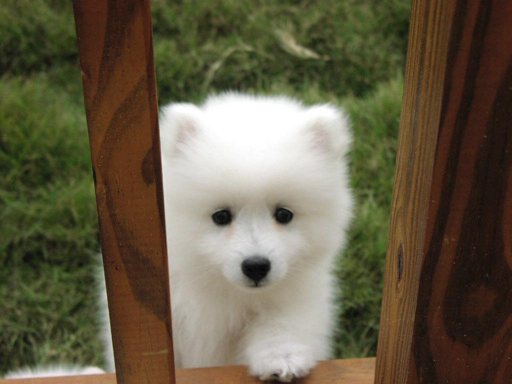 White lovely Canadian Eskimo puppy wallpaper