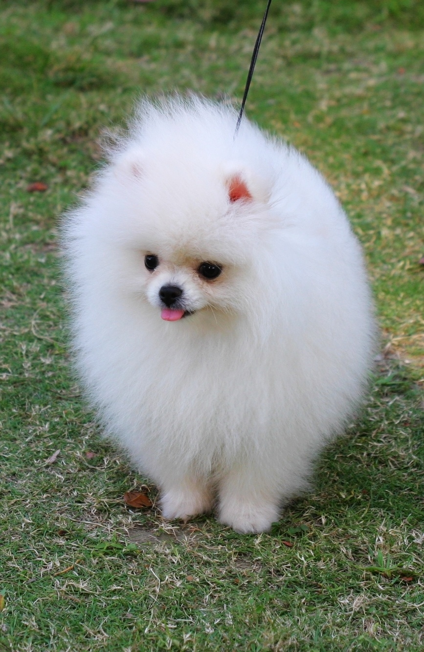 White Pomeranian dog wallpaper