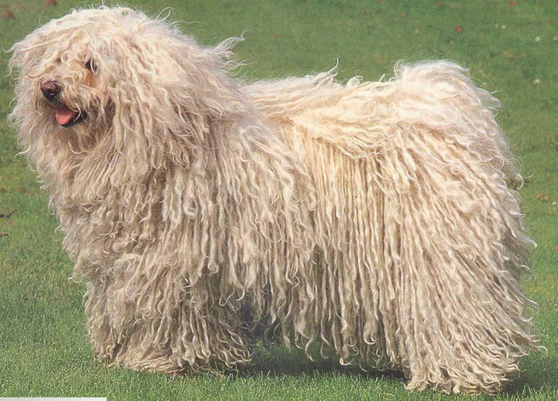 White Puli dog  wallpaper