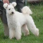 White Pumi dog