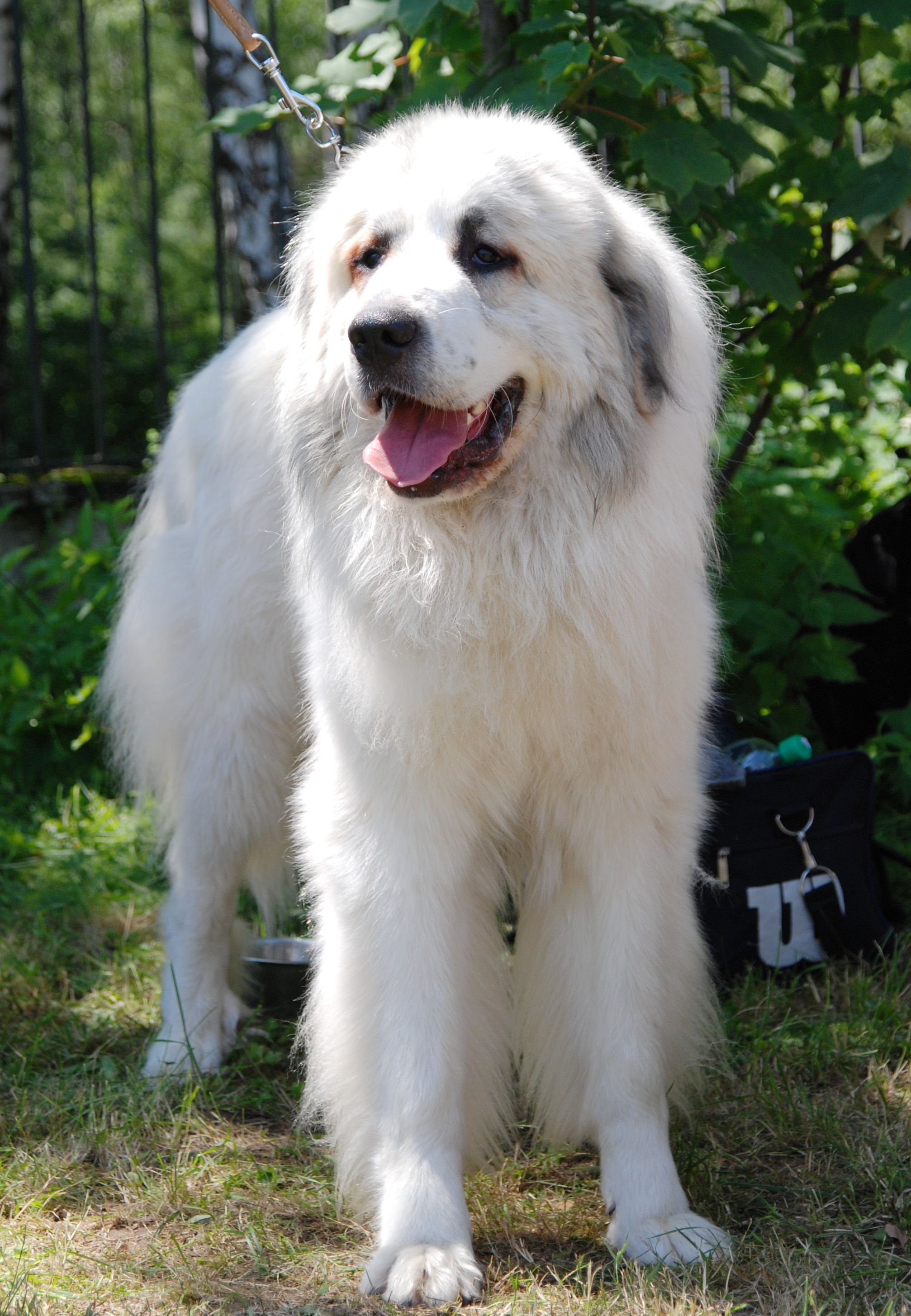 White Pyrenean Mastiff Photo And Wallpaper Beautiful