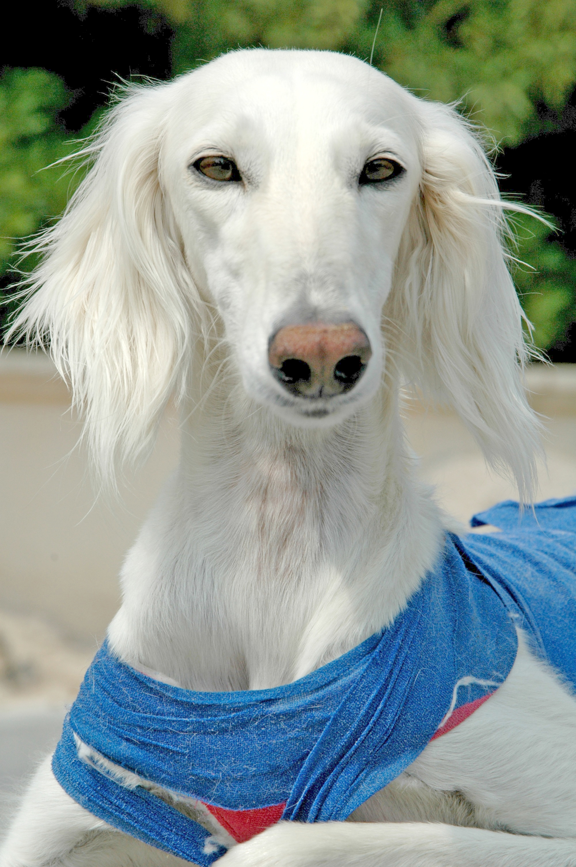 White Saluki dog  wallpaper