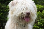 Белая собака сапсари