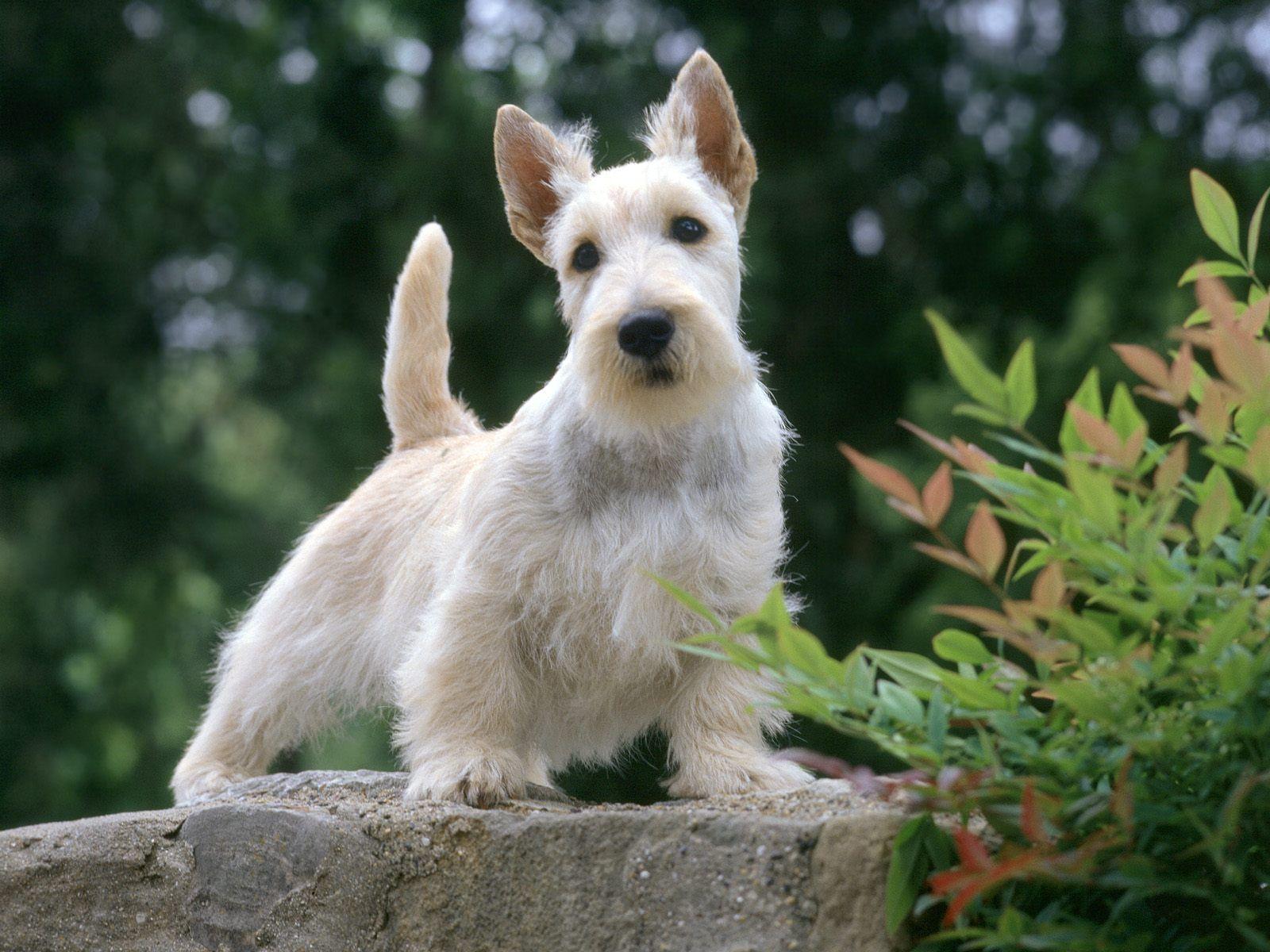 White Scottish Terrier dog wallpaper