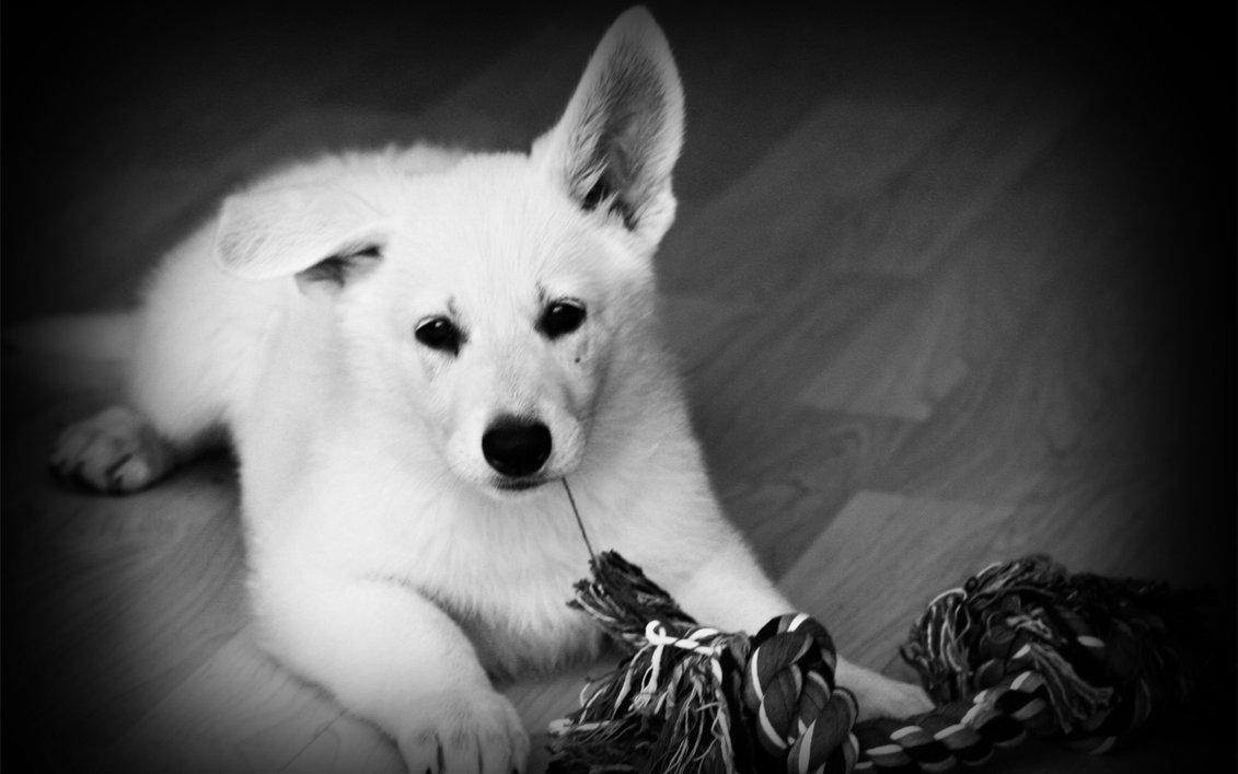 Черно-белое фото белой швейцарской овчарки фото