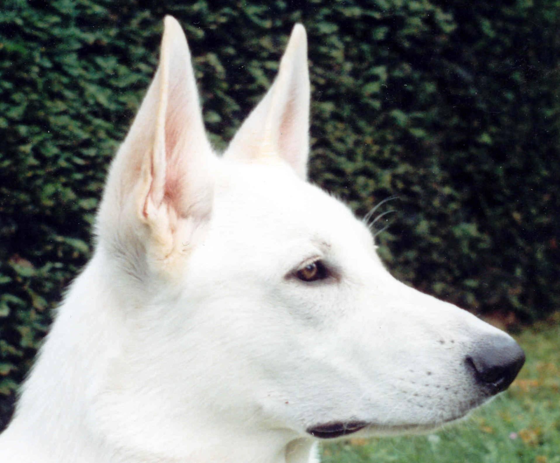 White Shepherd Dog face photo and wallpaper. Beautiful ...