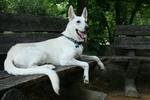 White Shepherd Dog on the bench