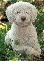 White Spanish Water Dog