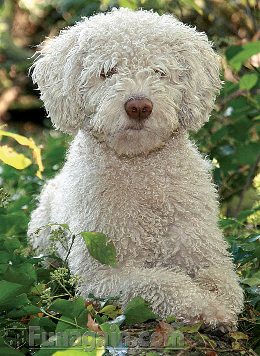 White Spanish Water Dog wallpaper