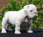 White Toy Bulldog