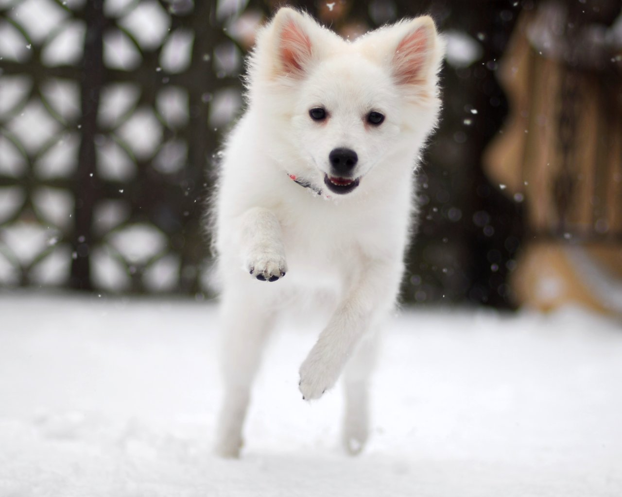 Winter American Eskimo Dog wallpaper