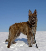 Winter Bouvier des Ardennes dog