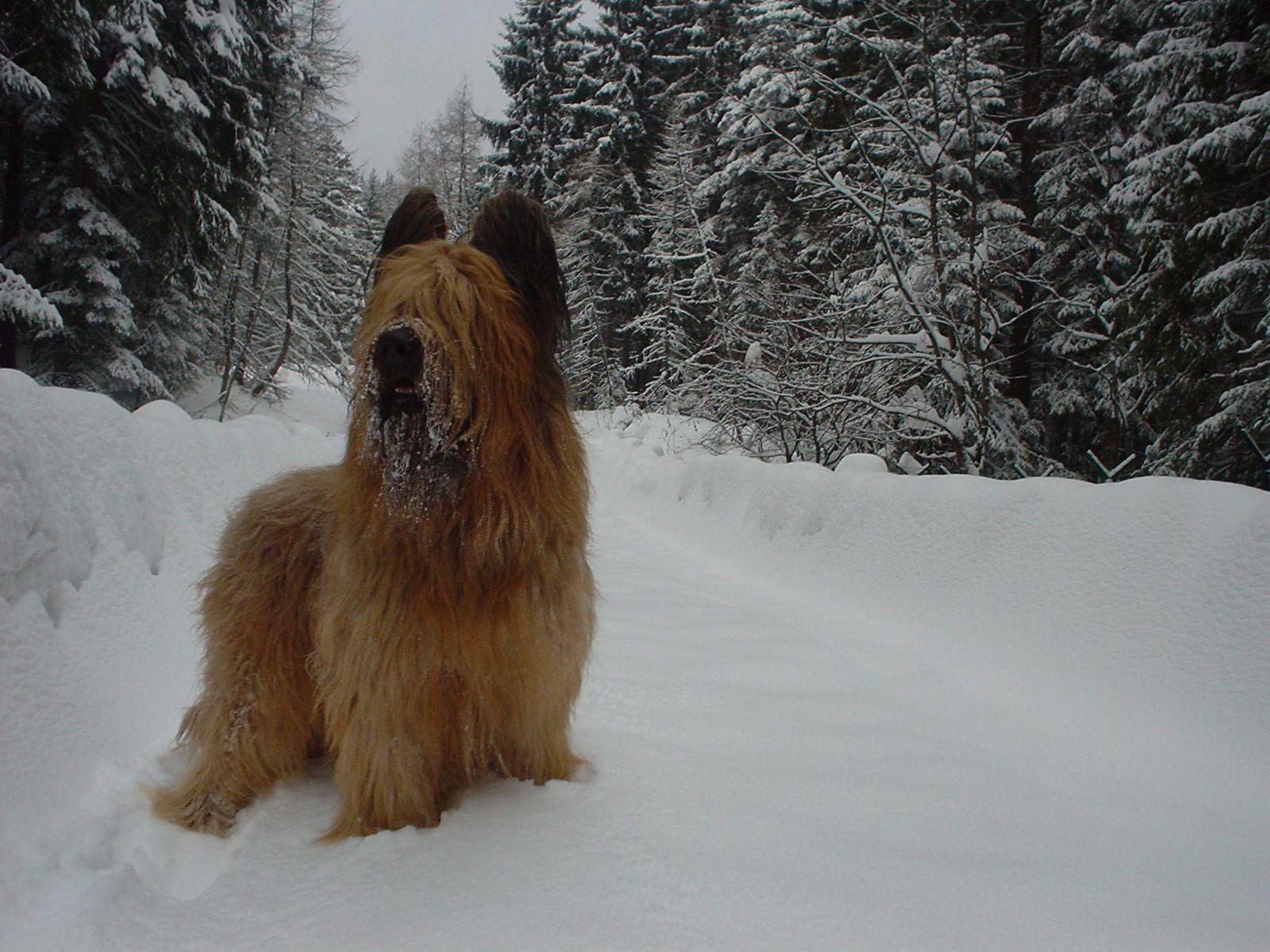Winter Briard wallpaper