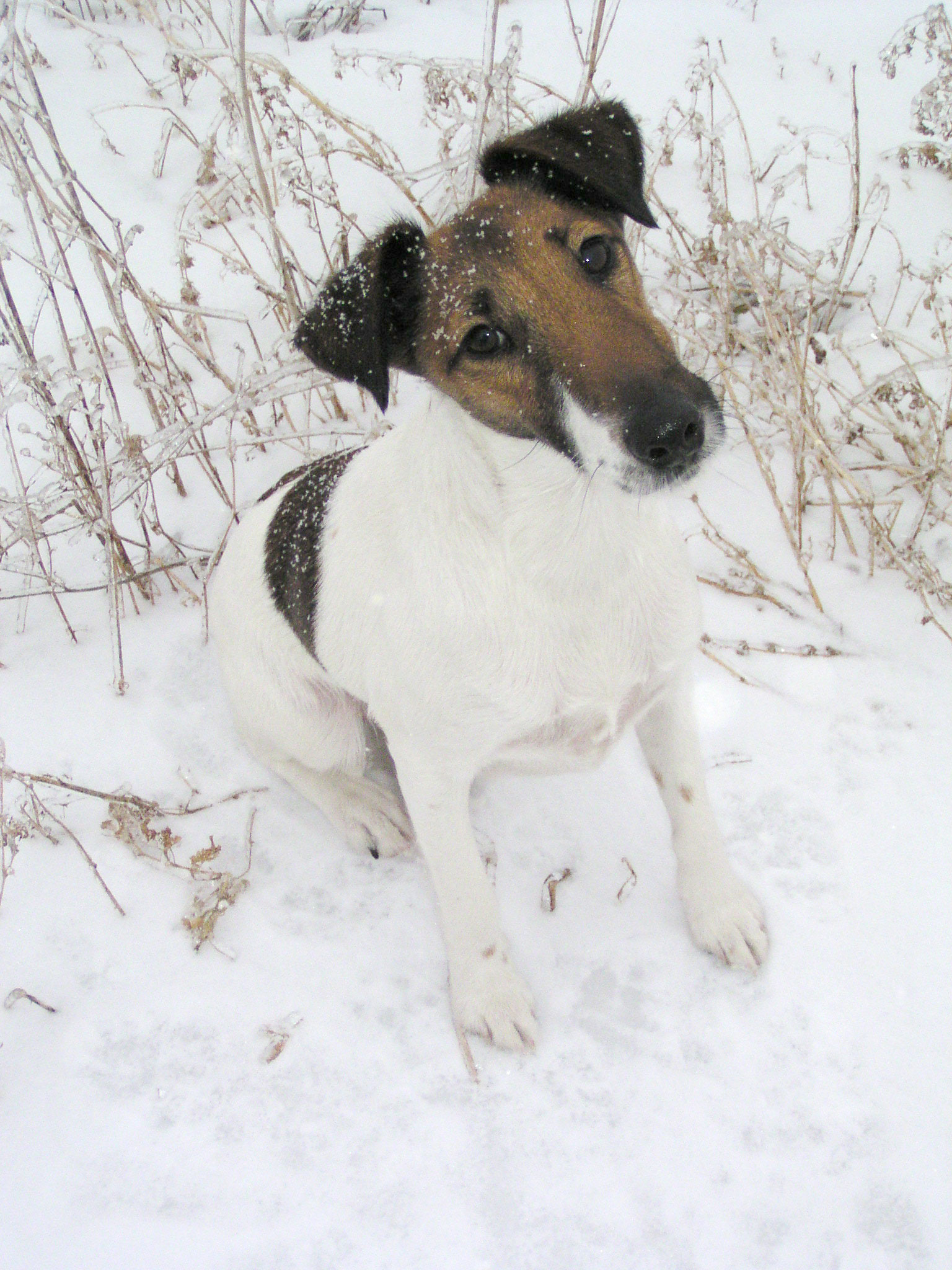 Winter Chilean Fox Terrier dog wallpaper
