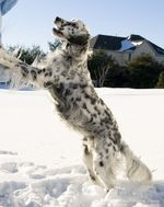 Winter English Setter dog