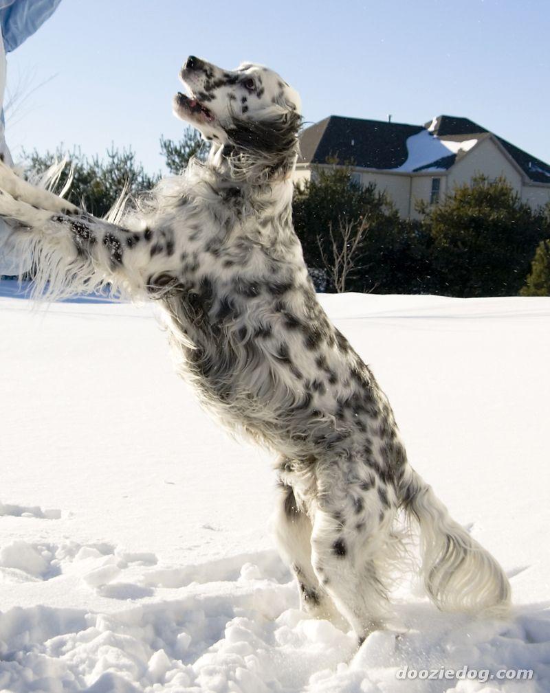 Winter English Setter dog wallpaper