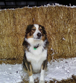 Winter English Shepherd dog
