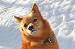Winter Finnish Spitz dog