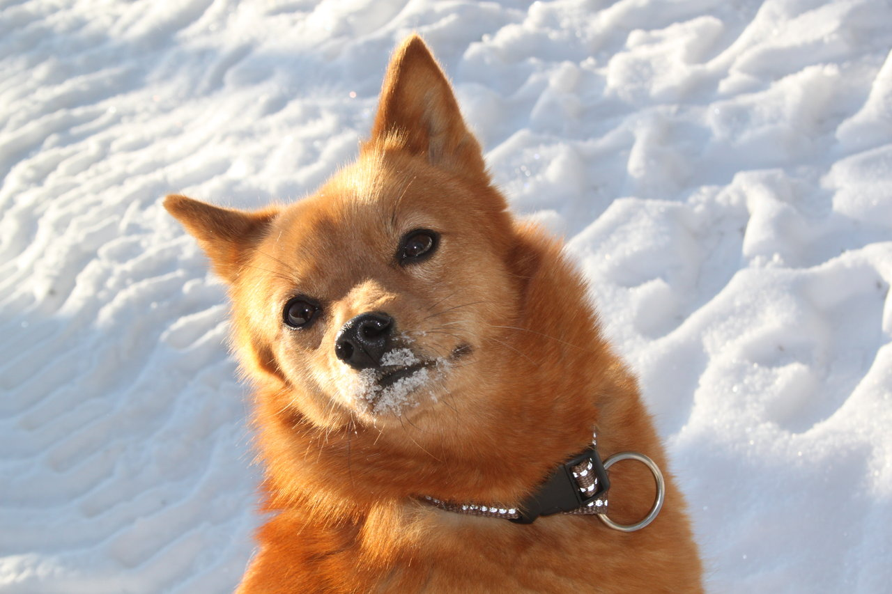 Winter Finnish Spitz dog wallpaper