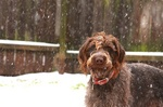 Winter German Wirehaired Pointer dog